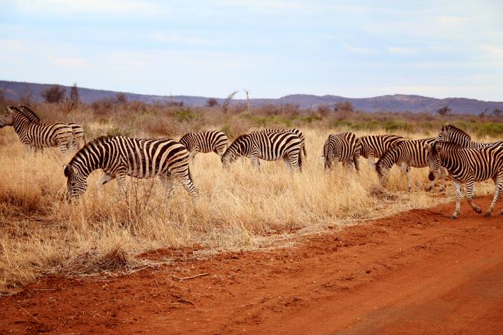 4_madikwe_suedafrika_game_drive_safari_lina_mallon_4