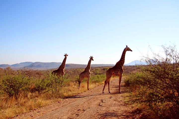 madikwe_suedafrika_game_drive_safari_lina_mallon_1