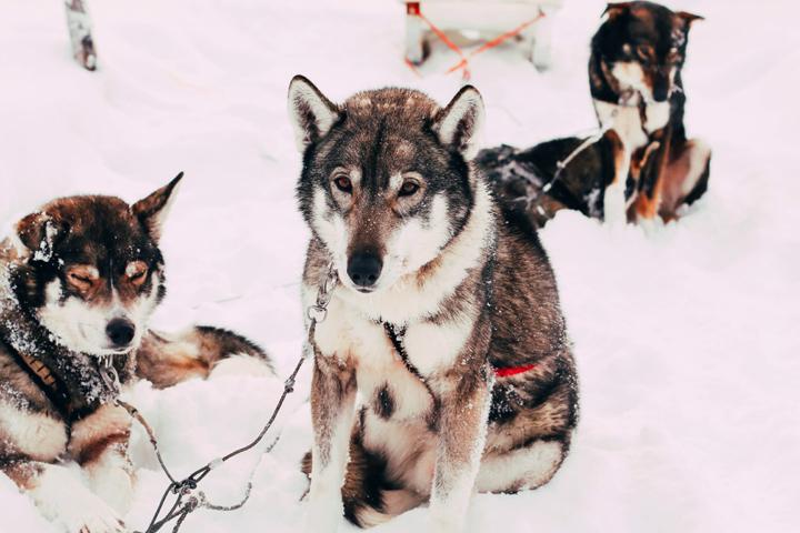 WEB_Ivalo_Husky_Lappland_Tour_lina_mallon-7703